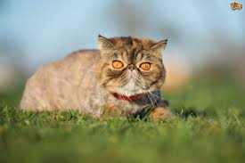 early neutering of kittens pros and cons pets4homes five questions and answers concerning cat breeding and neutering