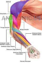best 25 muscular system ideas on pinterest human muscle anatomy