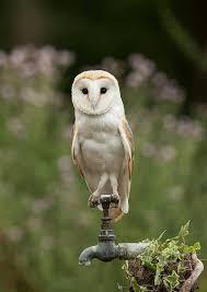 Barn Owl Photography Photographs Of Barn Owls