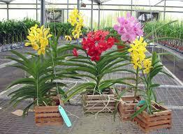 vanda orchids vanda orchids orchid kingdom