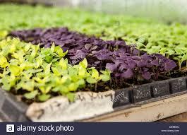 trays of baby lettuce plants stock photo royalty free image
