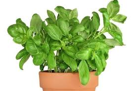 basilico in vaso malattie coltivazione basilico aromatiche come coltivare il basilico