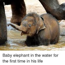 Elephant Meme - baby elephant in the water for the first time in his life meme on