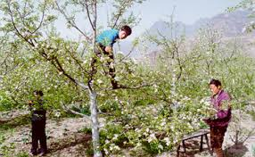 of china tree decline of bees forces china s apple farmers to pollinate by