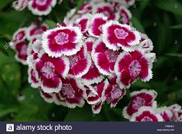 Sweet William Flowers Cluster Of Pink Sweet William Dianthus Barbatus Flowers With