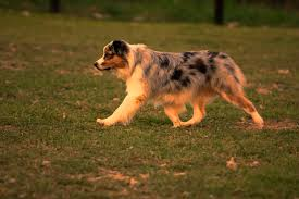 australian shepherd herding sheep herding photos dogs on the run dot net