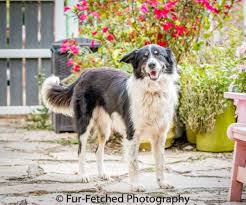 south carolina australian shepherd rescue dogs for adoption australian shepherd in apex north carolina