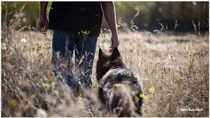 belgian sheepdog oregon owi detector dogs featured on npr oregon wildlife institute