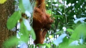 wildlife of sumatra jungle forest orangutan monkey hanging from