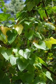 plants native to north carolina fairy food wnc u0027s wild air potatoes satisfy appetites feed