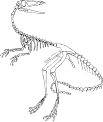 velociraptor clipart skeleton pencil and in color velociraptor