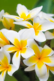 native frangipani hello hello plants u0026 garden supplies 298 best plumeria images on pinterest flowers