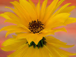 single sun flower wallpapers single sunflower wallpaper free sunflower downloads