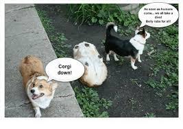 corgi down as soon as humans come we all take a dive belly rubs