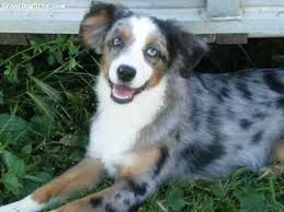 5 month old mini australian shepherd miniature australian shepherd blue merle puppy love sarah