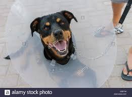 Radio Collar For Beagle Dog Wearing Collar Stock Photos U0026 Dog Wearing Collar Stock Images