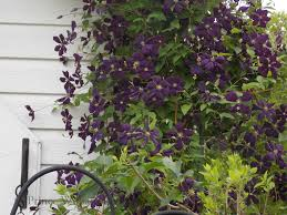 four tips for growing clematis vines prince william living