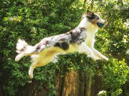 australian shepherd 4 monate gewicht der australian shepherd yellowstone australian shepherds