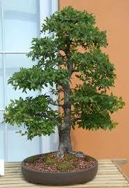 220 best bonsai images on pinterest bonsai trees bonsai plants cedar elm ulmus crassifolia