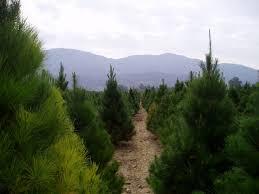 christmas tree farm california christmas lights decoration