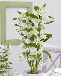 white dendrobium orchids nobilis white towering orchid premium quality with classic