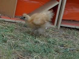 the flock problem backyard chickens