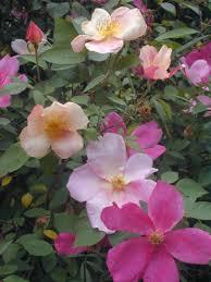 summer flowering shrubs hgtv