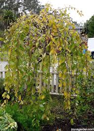 weeping willow tree care tips