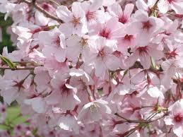 spring blossom valley auckland botanic gardens
