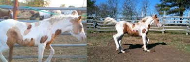 interesting blm mustang color somatic mutation the horse forum