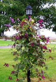 top 9 annual blooming vines that climb with gusto