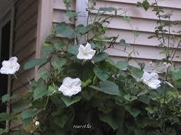 Moon Flowers Rose Et Lis Harvest Moon Flower