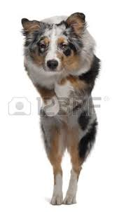 australian shepherd 2 mesi australian shepherd pup foto royalty free immagini immagini e