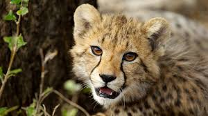 h2h cheetah ngsversion 1490278431220 jpg