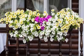 balkon blumen pflegeleichte balkonblumen leeb balkone und zäune