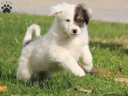 american eskimo dog corgi mix 50 very cute american eskimo puppy pictures and images