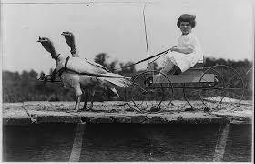 thanksgiving travel vermont turkeys used to walk to boston