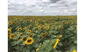 sunflower season 24 hours in bismarck north dakota 2017 08 30