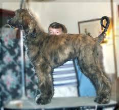 afghan hound ireland afghan hound puppy for sale 5 month old male pilgrim hosanna akc