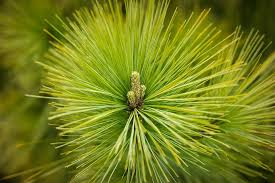 free photo tree needles pine pointed green conifer forest max pixel