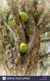 view of trunk of calabash tree with large gourd type fruit growing