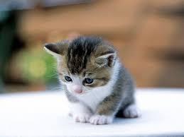 chihuahua adopts 7 suckling kittens love meow