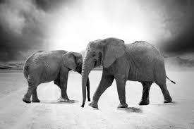 grayscale elephant animals africa free stock photo negativespace