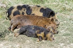 pigs sleeping kuni kuni piglets apparently