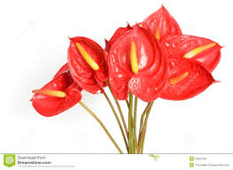 anthurium flower anthurium flowers stock photo image of colorful