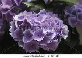 Purple Hydrangea Purple Hydrangea Stock Images Royalty Free Images U0026 Vectors