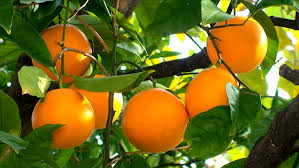 orange fruit hanging on the tree orange trees with fruits on the