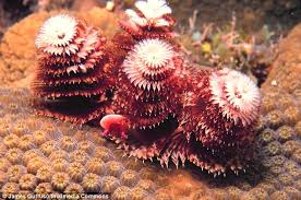 bizarre christmas tree worms look out for predators using gills