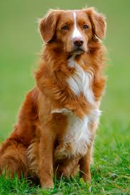 belgian shepherd nova scotia top 25 smartest dog breeds most intelligent dog rankings