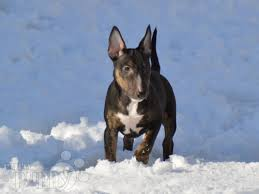 afghan hound de 1 mes girly miniature bullterrier puppy for sale euro puppy